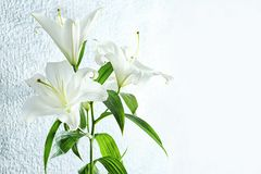 Beautiful white lilies. On light background royalty free stock image