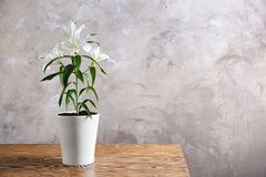 Beautiful white lilies in pot Royalty Free Stock Photography