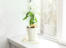 Beautiful white lilies in pot Stock Images