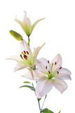Beautiful white lilies, on white. Beautiful white lilies, isolated on white Royalty Free Stock Images