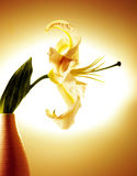Beautiful white lily Royalty Free Stock Images