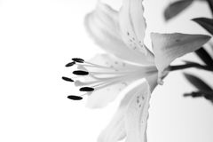 Beautiful white lily Royalty Free Stock Photo