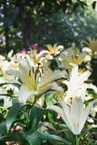 Beautiful white lily flower in botanic garden. Floral decoration Royalty Free Stock Image
