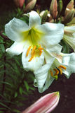 Beautiful white lily flower close up. Close-up photo of beautiful white lily flower Royalty Free Stock Photos