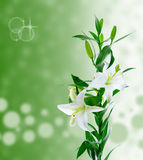 Beautiful white lily flowers Royalty Free Stock Photos
