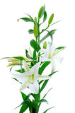 Beautiful white lily flowers Royalty Free Stock Image