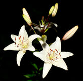 Beautiful White Lily flowers Royalty Free Stock Photo