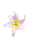 Beautiful white lily isolated Stock Photos