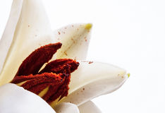 Beautiful white lily Royalty Free Stock Photography