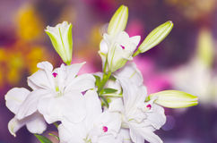 Beautiful white lily. The very beautiful white lily Stock Images