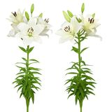 Beautiful white lily. Wonderful white lily isolated on a white background Royalty Free Stock Photo