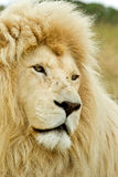 Beautiful white lion Royalty Free Stock Image