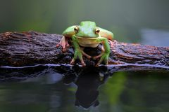 Beautiful white lipped tree frog in reflection. On water Royalty Free Stock Images