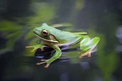 Beautiful white lipped tree frog in reflection. On water Royalty Free Stock Image