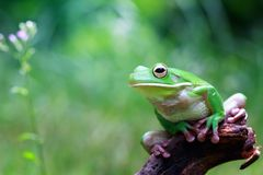 Tree fog, frogs, white lipped frog, litoria infrafrenata. Beautiful white lipped tree frog on wood Royalty Free Stock Photography