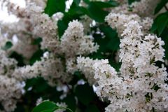 White flowers of bird cherry royalty free stock images
