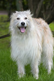 Beautiful white long-haired dog mongrel. On a green background Royalty Free Stock Photos
