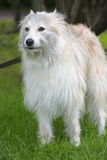 Beautiful white long-haired dog mongrel. On a green background Stock Images