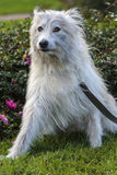 Beautiful white long-haired dog mongrel. On a green background Royalty Free Stock Image