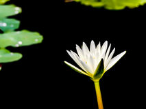 Beautiful white lotus on black background Stock Photography