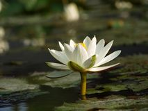 Beautiful White Lotus Flower Royalty Free Stock Images