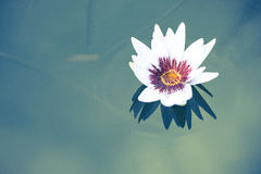 beautiful white lotus flower on deep blue water surface Stock Images