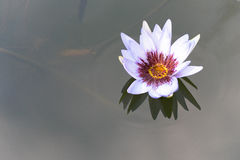 beautiful white lotus flower on deep blue water surface Stock Image