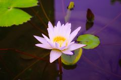 Beautiful white lotus flower with green leaf royalty free stock photos