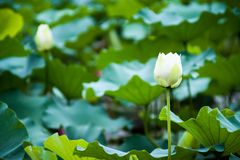 Beautiful white lotus flower images. The color of the Lotus certainly affects its general meaning as well. The white lotus flower and pink lotus flower from the royalty free stock images