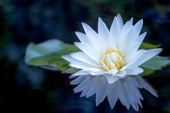 A Beautiful White lotus flower and leaf in pond. royalty free stock photography