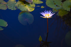 Beautiful  white lotus flower with leaves in pool on dark Royalty Free Stock Images