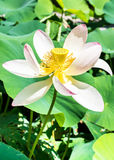 Beautiful White Lotus Flower showing il's heart. Royalty Free Stock Images