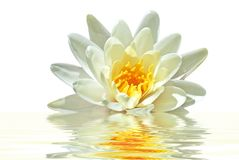 Beautiful white lotus flower in water. Beautiful white lotus flower floating in water Royalty Free Stock Images