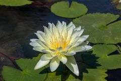 The Beautiful White Lotus Flower or Water Lily in the Pond royalty free stock photos