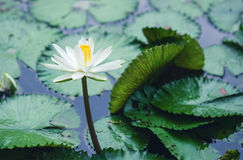 The beautiful white lotus flower or water lily reflection with t Stock Image