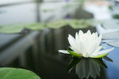 The beautiful white lotus flower or water lily reflection with w stock images