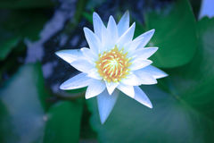 Beautiful white lotus flowers in blossom, close-up Stock Photo