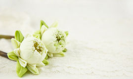 Beautiful white lotus with fold petal on white Stock Photos