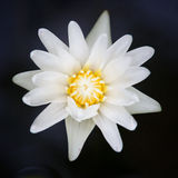 Beautiful white lotus in the pond Stock Image