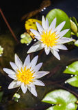 Beautiful white lotus in the pond Royalty Free Stock Photography