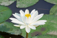 Beautiful white lotus in the pond, in sunshine Stock Photography