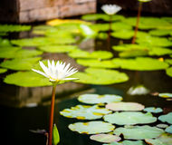 Beautiful white lotus Royalty Free Stock Images