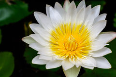 Beautiful White lotus (water lily) Royalty Free Stock Photo