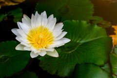 Beautiful White lotus (water lily) Stock Image