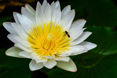 Beautiful White lotus (water lily) Stock Photo