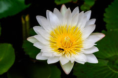 Beautiful White lotus (water lily) Stock Images