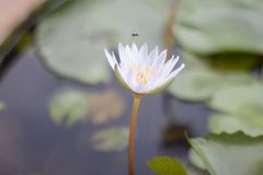 Beautiful white lotus or water lily flower blooming in pond. royalty free stock photography