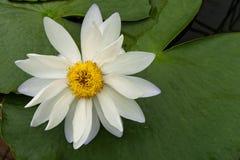 Beautiful white lotus with yellow pollen Royalty Free Stock Photos