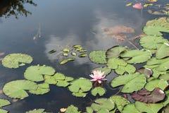 Beautiful white ,magenta water lily