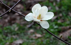 Beautiful white magnolia flower. Creamy blossom of white magnolia tree. Beautiful white magnolia flower. White flower of the magnolia tree in early spring Stock Images